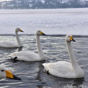 ●近くで白鳥に出会える湖