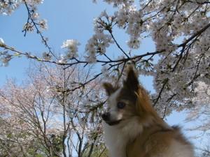 智光山公園にお花見!