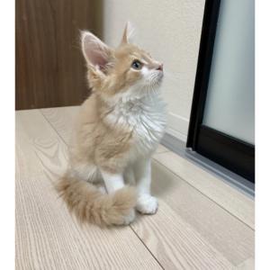 【拡散希望】FIP猫 きなこちゃん支援のお願い