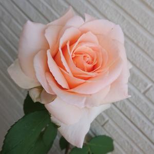 鉢植えの薔薇