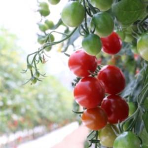 父の日に食べたトマトの花言葉/ホメオパシー
