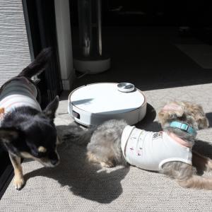 ロボット掃除機に慣れた犬たち
