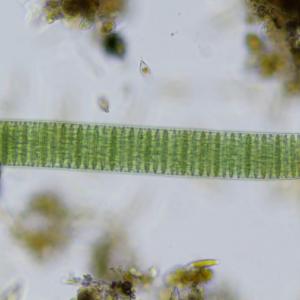 オシラトリア ユレモ Oscillatoria