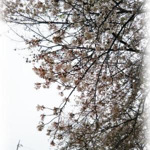 桜の雨と、お気に入りカップで☆