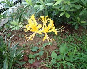 黄色いヒガンバナ