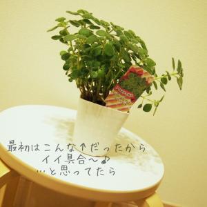 観葉植物たちのその後①アロマティカス編  と 我が家のご報告