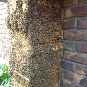 日本ミツバチ 巣落ち 逃避