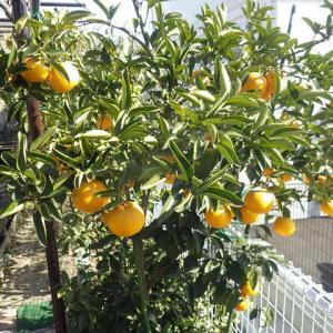 デコポン・八朔・夏みかんの収穫