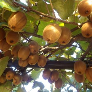 そろそろ収穫 キウイ サツマイモ 柑橘類