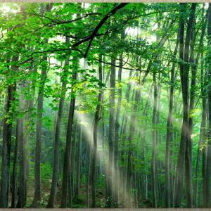 早朝のブナ林