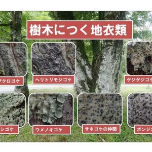 樹木につく地衣類