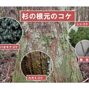 杉の根元のコケ