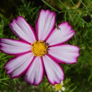花左036 府立植物園 コスモスの花