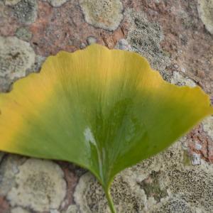 まち歩き木津川1377 イチョウはこうして黄色に変わるのか