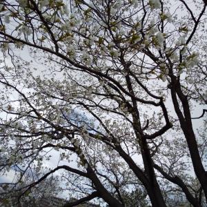 お花見&アーシングでお楽しみ(*^。^*)