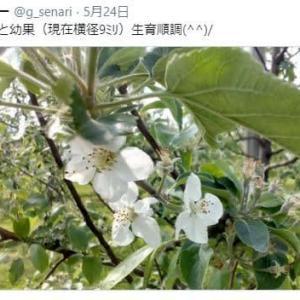 りんごの生育状況 -5月下旬-