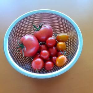 収穫!ベランダ栽培のトマトたち