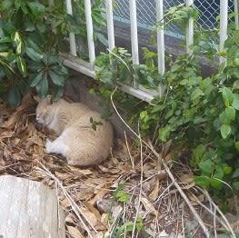 うちの庭に住み付いたチヤーちゃん