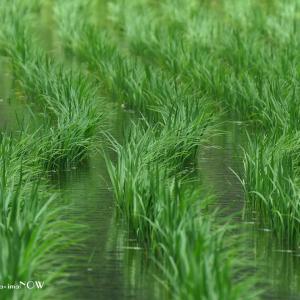 風にそよぐ緑の水田