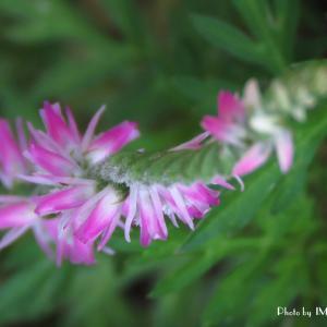 早咲きのコスモス