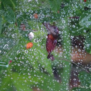 蜘蛛の巣...水玉