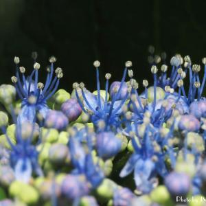 賑やか...額紫陽花