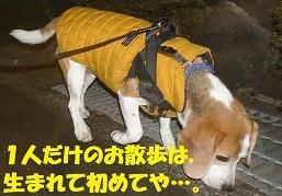 JIRO,ひとりぼっちの早朝散歩…。なぜ?!