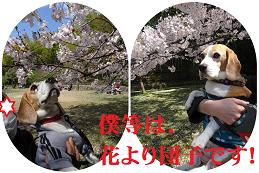 桜は満開ですが,息子達は…?