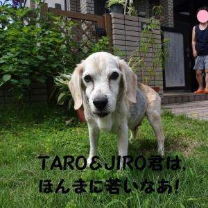 ビーグルの大先輩(17歳)に出逢えたTARO&JIRO!