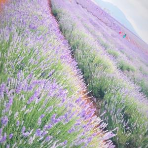 タスマニア島〜世界最大級のラベンダー畑〜
