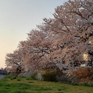 桜が満開なのでひとり散歩してきました