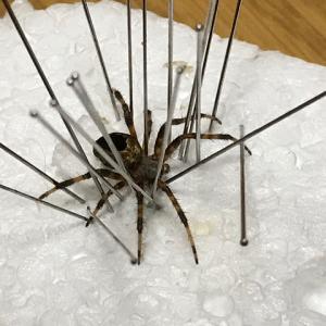 ヤマシロオニグモの乾燥標本