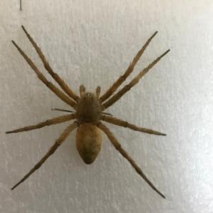 クモの乾燥標本作成:イオウイロハシリグモ