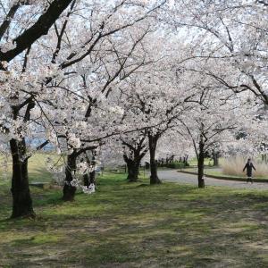 長野:桜巡り・再び「古戦場史跡公園」へ!