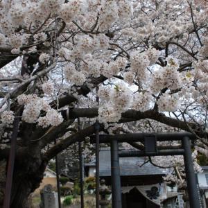 長野:桜巡り「素桜神社」へ!