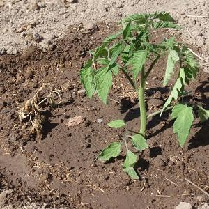 家庭菜園 2019 蘇った苗と勝手に出て来る芋