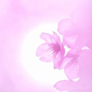 【2020年の桜】3月22日撮影 東温市 重信川河川敷の桜