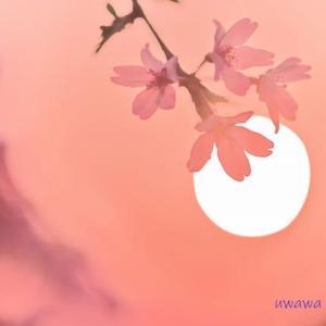 【2020年の桜】 愛媛県新居浜市 中須賀公園の桜 4月2日撮影