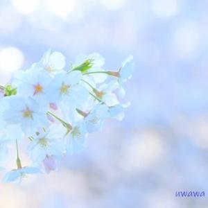【2020年の桜】東温市 重信川河川敷の桜 4月4日撮影