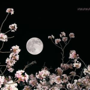 【2020年の桜】4月8日撮影 スーパーピンクムーン