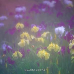 愛媛県新居浜市 池田池公園の菖蒲園 2020年6月5日撮影