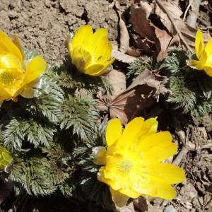 遅場の春に目覚めて 藤原岳へ 3 福寿草を求めて