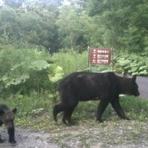2019.7.14~15予定の「滝野でキャンドル」の中止について・・・・・ヒグマの親子
