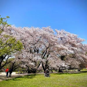 見納めかな・・・砧公園の桜