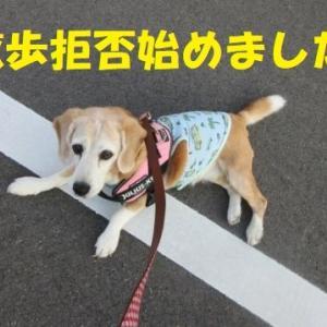 クールのお洋服?散歩居拒否始めました!