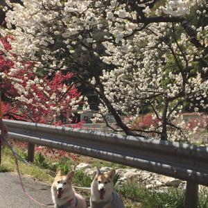 花桃の里。