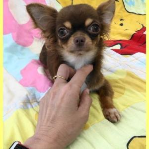 ロングコートチワワ ( 1歳成犬 )