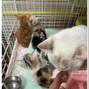 【子猫】マンチカン ( マカの子 )