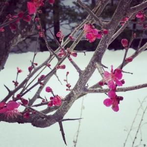ねこと雪と梅と動画少し