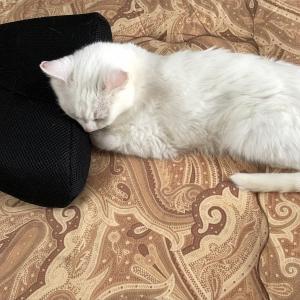 残暑ざんしょ、猫枕
